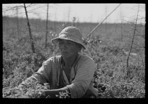 Indian blueberry picker, Little Fork, Minnesota, Russell Lee, Photographer, 1937. Library of Congress # fsa1997021798/PP