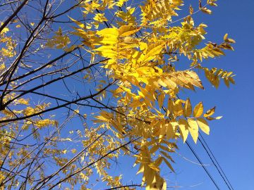 1024px-2014-10-30_10_16_45_Black_Walnut_foliage_during_autumn_along_Fireside_Avenue_in_Ewing,_New_Jersey